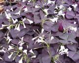 Oxalis regnellii atropurpurea [triangularis]