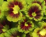 Pelargonium hortorum New Leaf