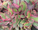 Peperomia clusiifolia jellie
