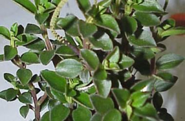 Peperomia Kuanca Banba (Sp. Peru)