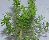 Peperomia galioides