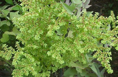 Pilea microphylla [callitrichoides]
