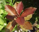 Synadenium grantii rubra