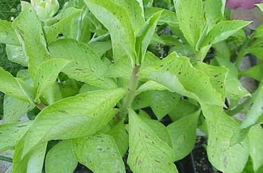 Synadenium grantii variegata