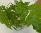 Tectaria cicutaria [gemmifera, hort.]