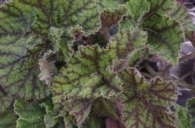 Begonia Cowardly Lion [hyb]