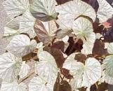 Begonia Mirage [hyb]