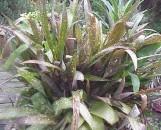 Billbergia saundersii Hybrid #3