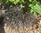 Ophiopogon planiscapus arabicus (nigrescens)