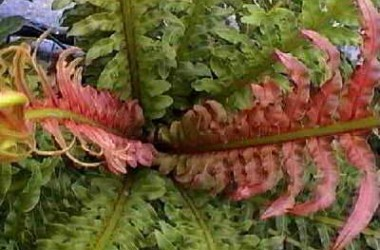 Blechnum Silver Lady (Affinity moorei)