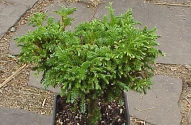 Chamaecyparis pisifera pygmaea