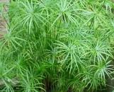Cyperus alternifolius gracilis