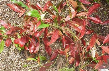 Excoecaria cochinchinensis