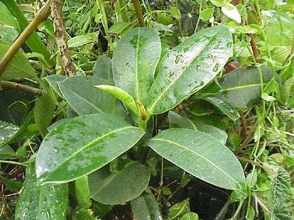 Ficus elastica congesta - Glasshouse Works  Ficus elastica ...