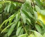 Ficus longifolia [barteri]