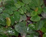 Ficus pumila [repens] minima