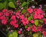 Impatiens Mini-Hawaiian Kahoolawe