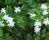 Jasminum multiflorum [pubescens]