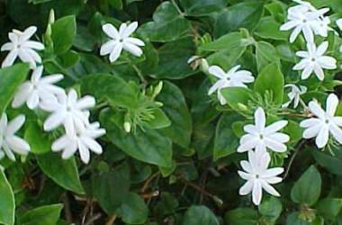 Jasminum multiflorum [pubescens]