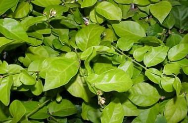 Jasminum sambac Maid Of Orleans