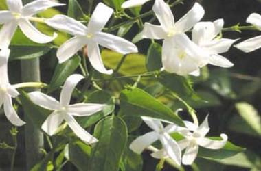 Jasminum tortuosum