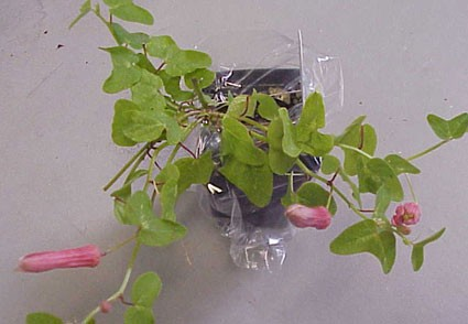 Passiflora sanguinolenta glasshouse works passiflora sanguinolenta passion flower mightylinksfo