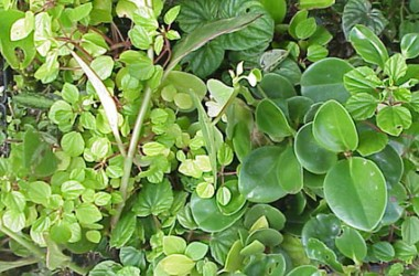 Peperomia Collection (5 plants)