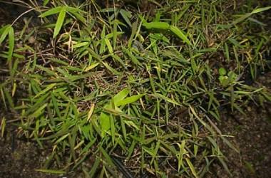 Pogonatherum crinitum