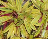 Tradescantia (Rhoeo) bermudensis Sitake's Gold
