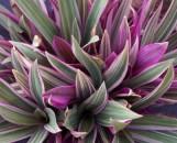 Tradescantia (Rhoeo) bermudensis variegata (Pink)
