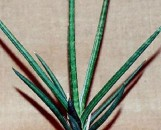 Sansevieria gracilis [hort]