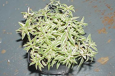 Sedum lineare variegatum