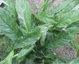 Spathiphyllum Domino [hyb]