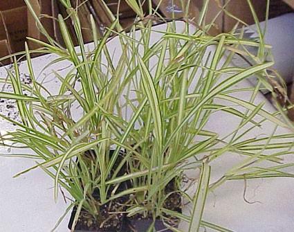 Stenotaphrum secundatum variegatum - Glasshouse Works