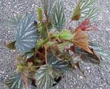 Begonia Miniperba [hyb]