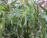 Acalypha wilkesiana godseffiana heterophylla