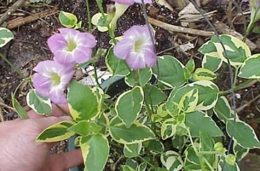Asystasia gangetica Ivory Ribbons