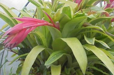 Billbergia pyramidalis striata