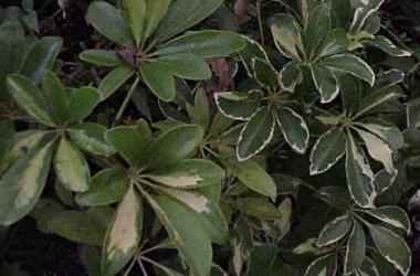 Brassia arboricola Bernadine