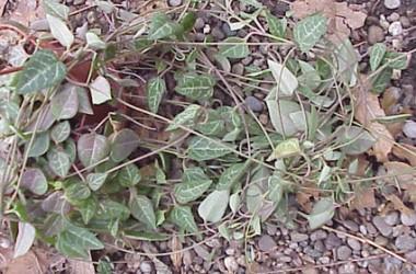 Ceropegia linearis woodii Hybrid