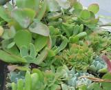 Succulent Wreath Collection / Leafy Succulents Collection (5 Plants)