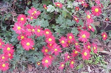 Dendranthema [chrysanthemum] Firechief [hyb]