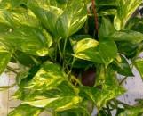 Epipremnum [Scindapsis] aureum