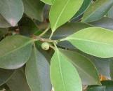 Ficus benjamina nuda [comosa]