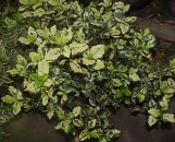 Gardenia jasminioides [veitchii] yashioka