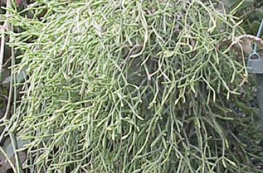Rhipsalis (hatiora) salicornioides