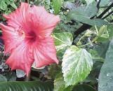 Hibiscus rosa-sinensis General Corteges variegatus