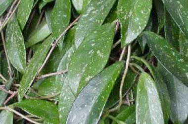 Hoya pubicalyx Philippine Black [chimaera]