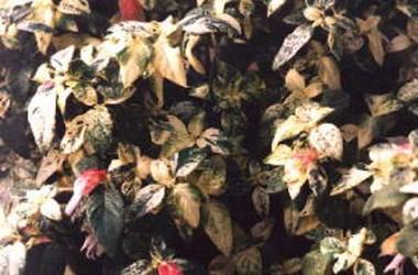 Justicia brandegeana variegata