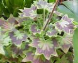 Pelargonium stellar Ragtime